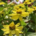 黄色のジニア