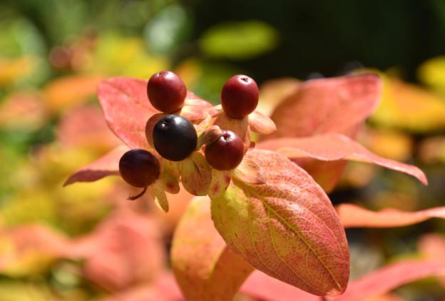 秋のヒペリカム