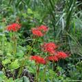 Photos: 野に咲く彼岸花