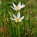 白花のゼフィランサス