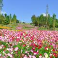 Photos: cosmosの花風景