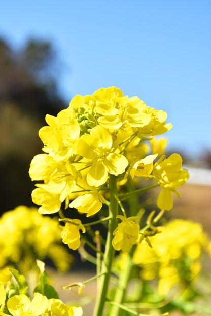 春の到来を告げる「菜の花」