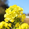 Photos: 春の到来を告げる「菜の花」