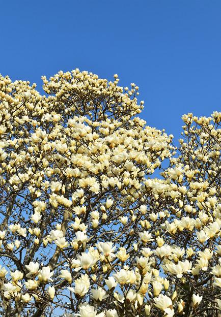 白木蓮(ハクモクレン)の大木