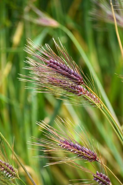 初夏の風に揺れる「六条大麦」