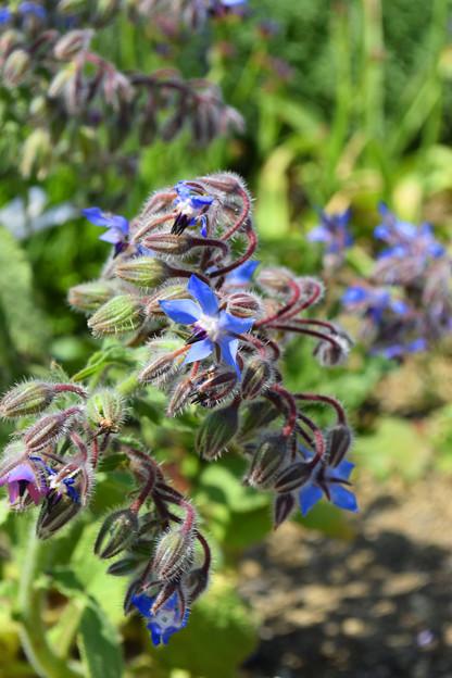 Photos: 透明感のある青い花「ボリジ」