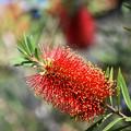 Photos: 赤い「ボトルブラシ」の木