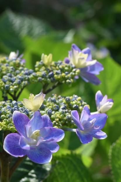 青色の「ガク咲きアジサイ」
