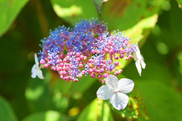 あじさい「真花」の開花
