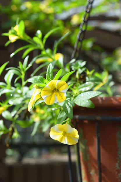 黄色いカリブラコア