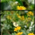 SSの蝶々~~♪