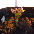 写真: Monadenium sp.