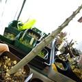 写真: Pachypodium sofiense