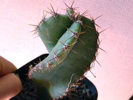 Cereus forbesii spiraliforme