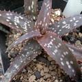 写真: Aloe hybrid