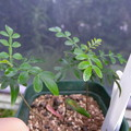 写真: Opercularia decari seedling