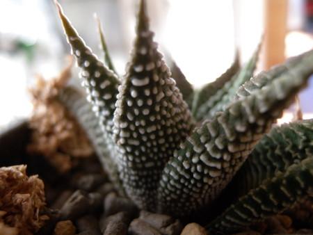 H. limifolia var. keithii