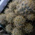 写真: Mammillaria prolifera