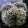 写真: Mammillaria prolifera crested