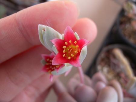 オビフェラムの花