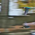 写真: カワセミ飛翔