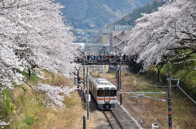 桜の花道を行く(副題:跨線橋は撮り鉄さんで大賑わい)