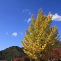 写真: 銀杏の紅葉