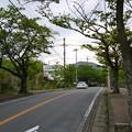 桜並木@伊豆高原、4月末