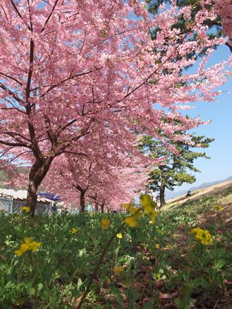 桜とささやかな菜の花