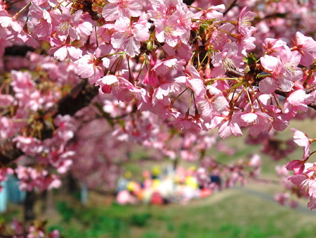 美和桜2014-3