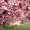写真: 美和桜2014-3