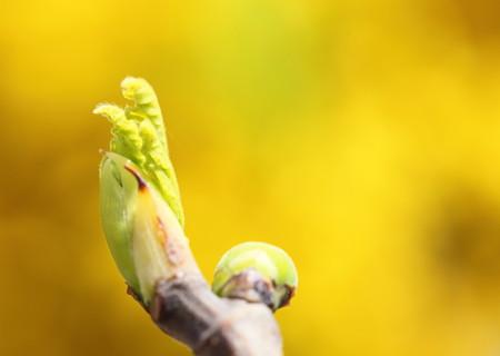 イチジクの新芽