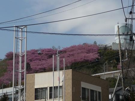 130311-松田山 河津桜 (1)