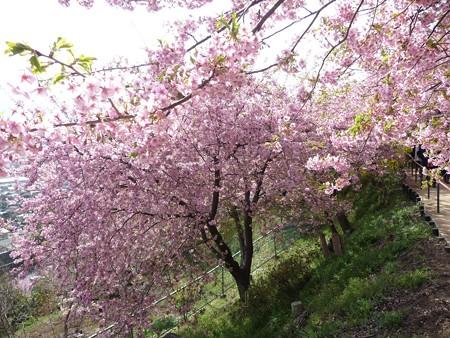 130311-松田山 河津桜 (22)