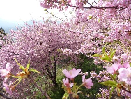 130311-松田山 河津桜 (24)