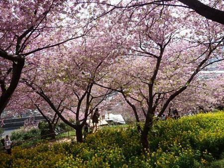 130311-松田山 河津桜 (30)