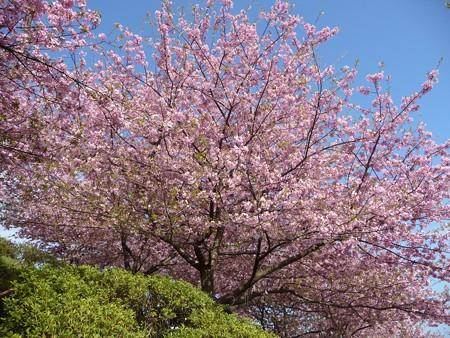 130311-松田山 河津桜 (98)