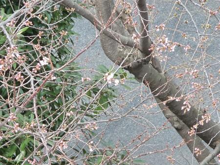 130317-桜