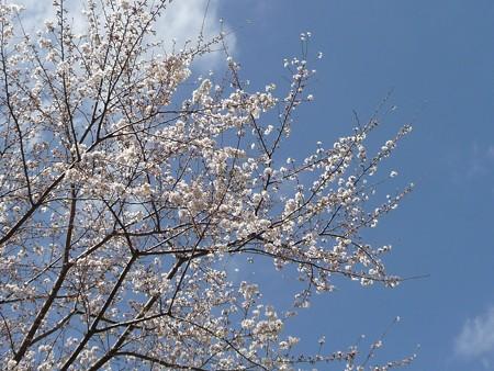 130321-桜 (3)