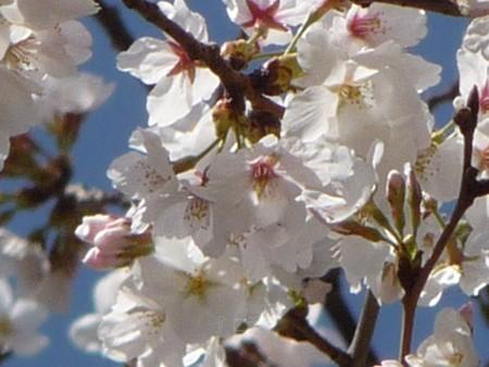130321-桜 (5)