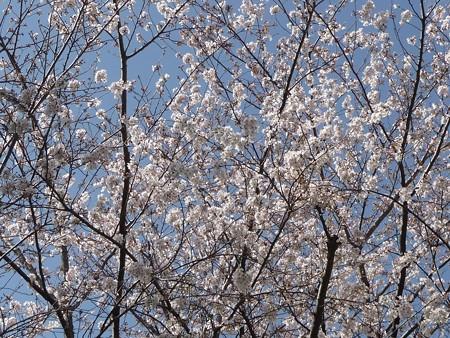 130321-桜 (9)