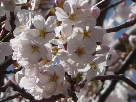 130321-桜 (11)