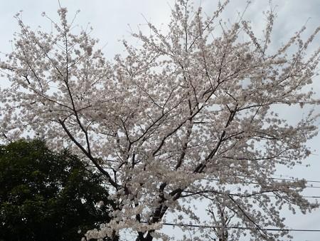 130326-桜 (4)