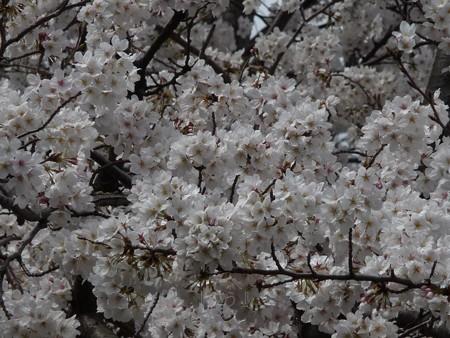 130326-桜 (14)