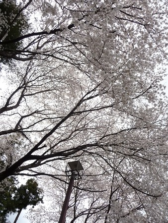 130326-桜 (16)