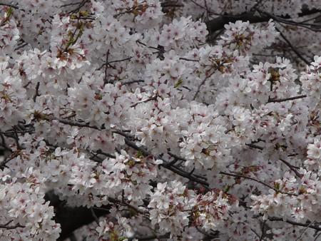 130329-大和 千本桜 (25)