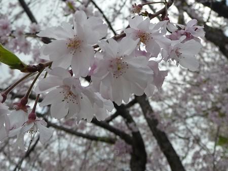 130404-川口の桜 (6)