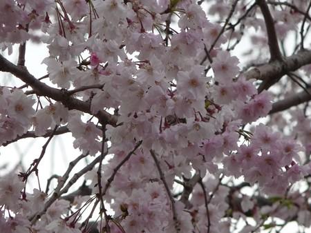 130404-川口の桜 (7)