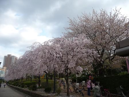 130404-川口の桜 (13)