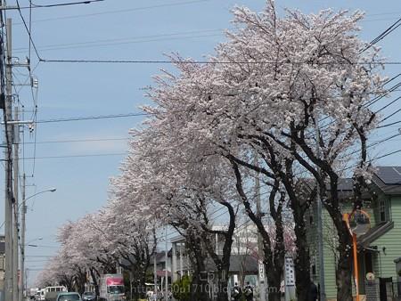 140401-桜 海軍道路 (3)